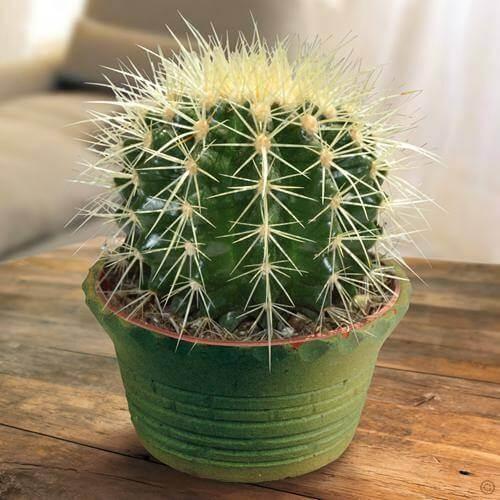 Echinocactus grusonii - Cactus garden