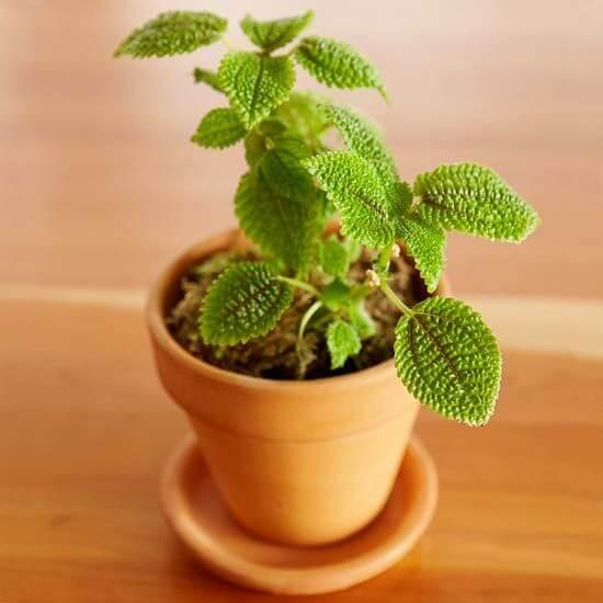 Friendship plant - Indoor House Plants