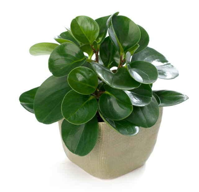 Peperomia obtusifolia (Baby rubber plant) - Indoor House Plants on rubber plant light requirements, india rubber plant, rubber tree plant, rubber plant care tips, rubber floor covering, rubber succulents, rubber leaf plant, rubber freeze plug, tall rubber plant, rubber patio, baby rubber plant, green rubber plant, jade plant, rubber paint coating, american rubber plant, rubber looking plant, rubber plank flooring, rubber fruit plant, outdoor rubber plant,