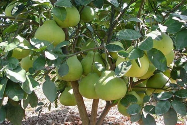 Pomelo (Citrus maxima) - Fruit garden