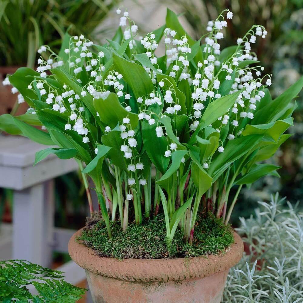 Garden Bush: Convallaria Majalis (Lily Of The Valley)