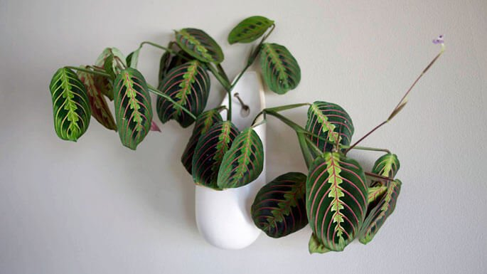 Maranta leuconeura - Indoor House Plants