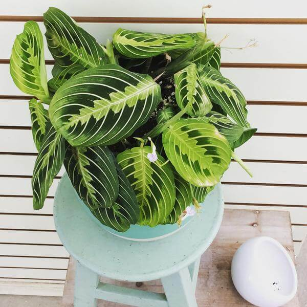 Maranta leuconeura - Indoor House Plants