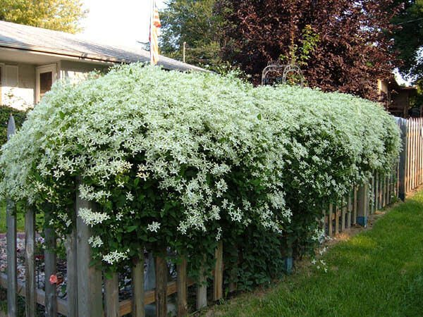 Sweet autumn clematis - Flowering plants