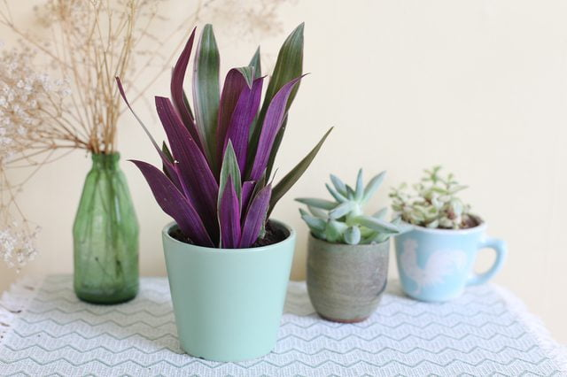 Tradescantia spathacea - Herb garden