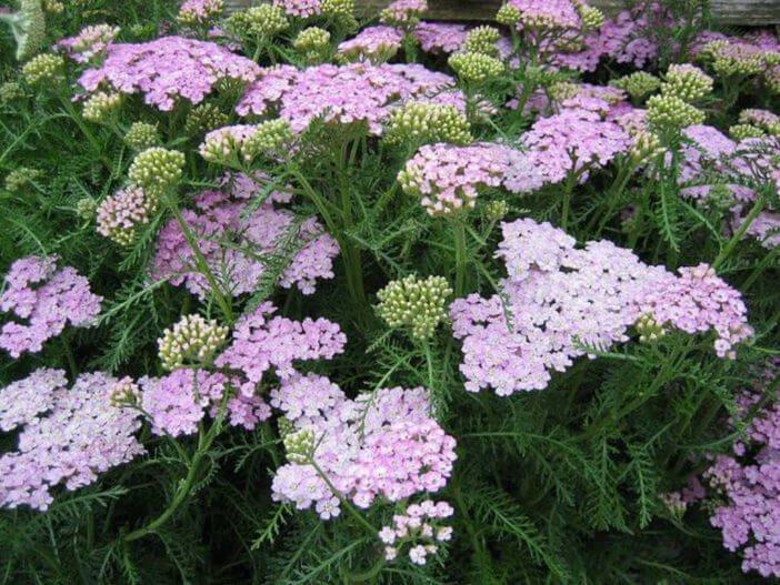 Yarrow (Achillea millefolium) - Herb garden