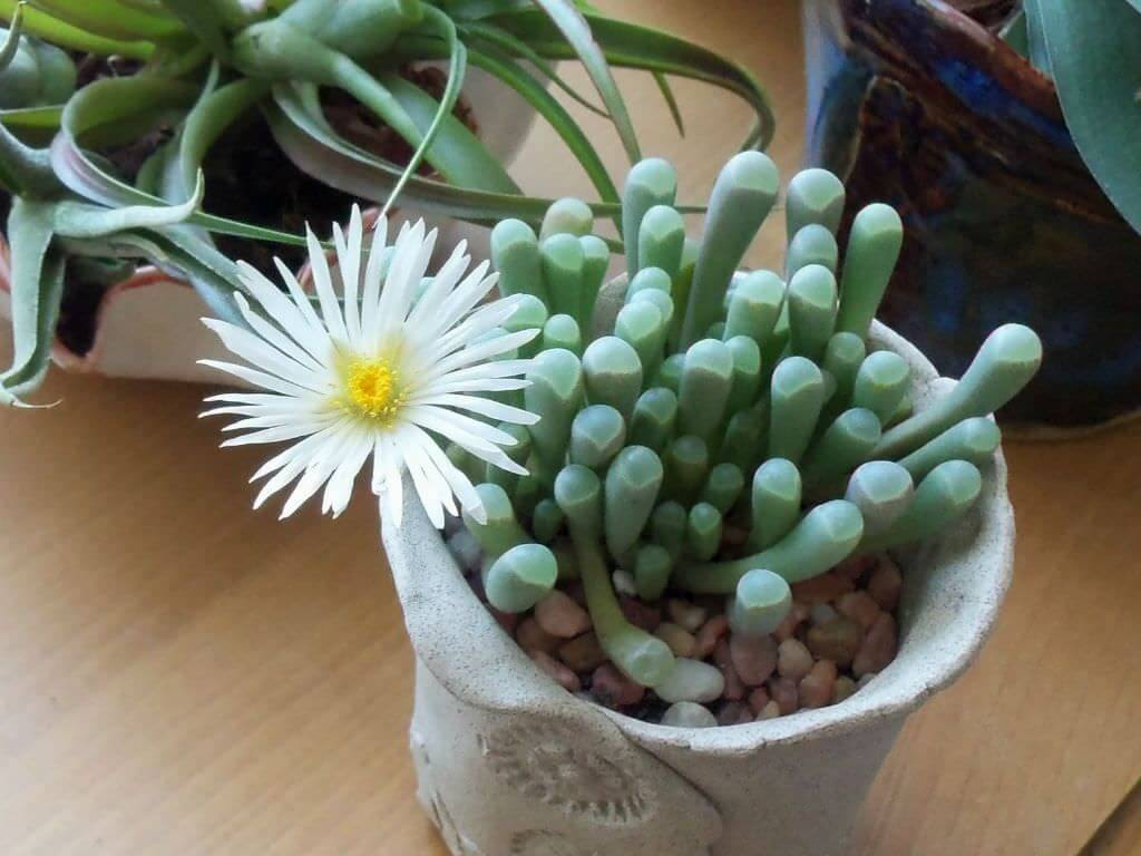 Baby toes (Fenestraria rhopalophylla) - Succulent plants