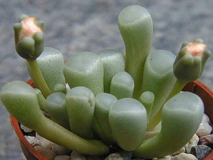 Baby toes (Fenestraria rhopalophylla) - Succulent plants