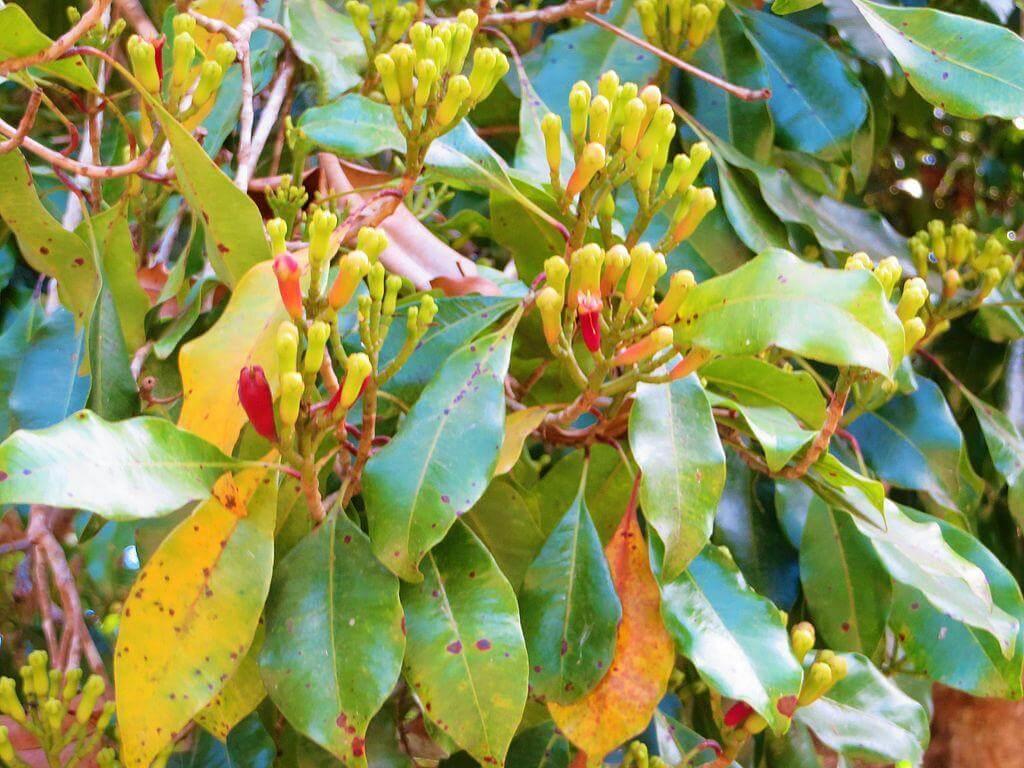 Cloves (Syzygium aromaticum) - Herb garden