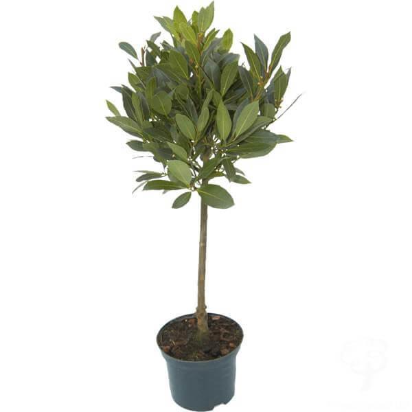 Laurus nobilis (Bay laurel) - Indoor House Plants