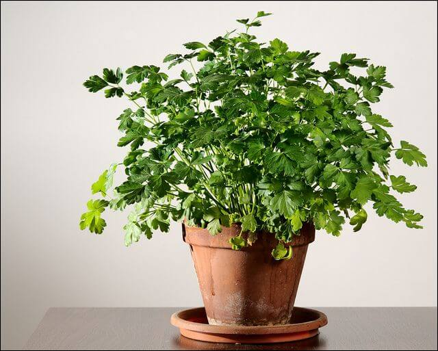 Parsley (Petroselinum crispum) - Herb garden