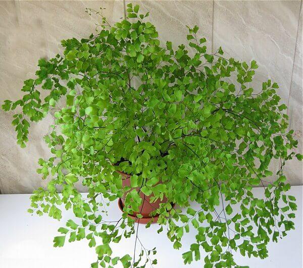 Adiantum raddianum - Indoor House Plants