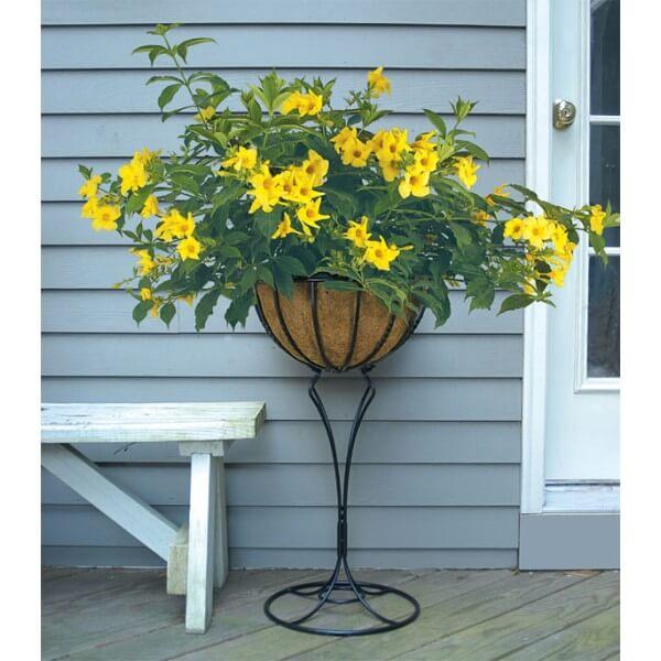 Allamanda cathartica (Golden trumpet) - Flowering plants