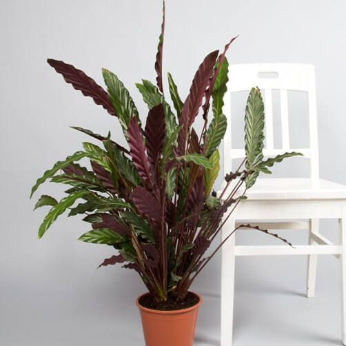 Calathea rufibarba - Indoor House Plants