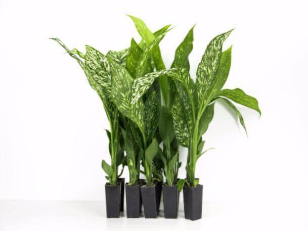 Dieffenbachia seguine (Dumbcane) - Indoor House Plants