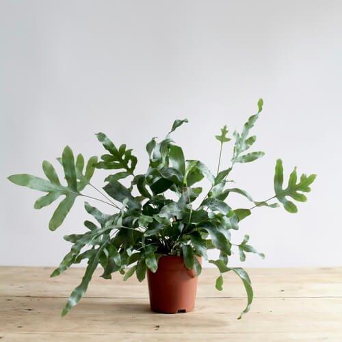 Phlebodium aureum - Indoor House Plants