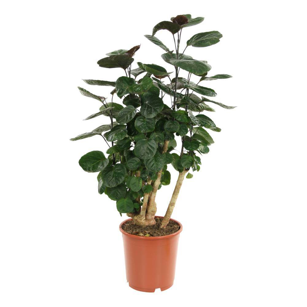 Polyscias Fabian - Indoor House Plants