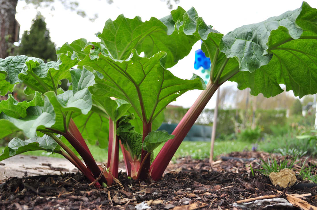 Rhubarb Plant - Vegetable garden