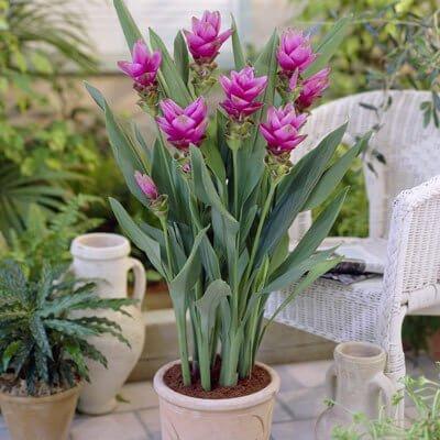 Curcuma alismatifolia - House Plants