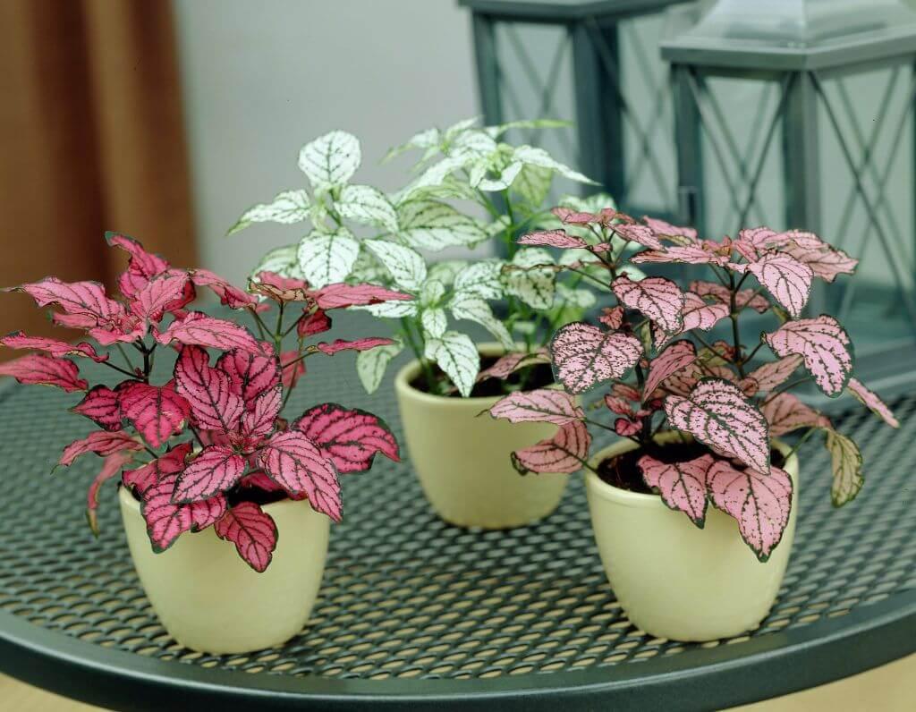 Hypoestes phyllostachya (Polka dot plant) - Foliage Plants