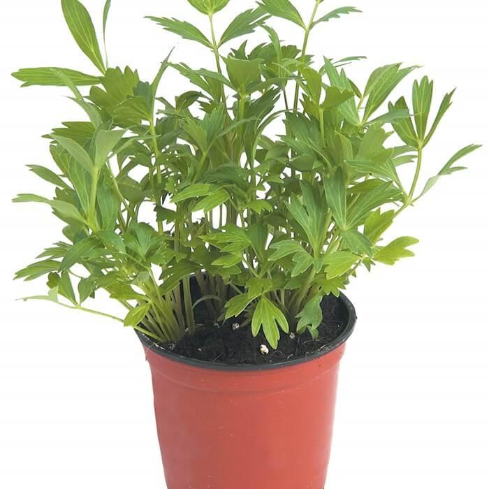 Levisticum officinale - Herb garden
