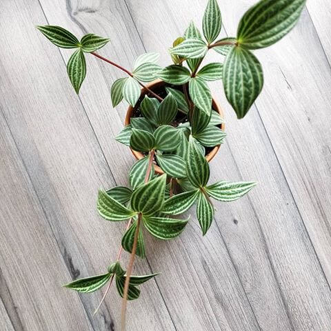 Peperomia-puteolata-Parallel-Peperomia Striped House Green Plant Leaves on house plant bamboo, house plant seeds, house plant banana, house plant leaf, house plant moss, house plant ginger, house plant water, house plant pineapple, house plant lime, house plant iris, house plant sweet potato, house plant pink, house plant soil, house plant violet, house plant white background, house plant sage, house plant strawberry, house plant red, house plant lily, house plant flowers,