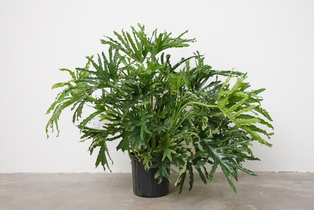 Philodendron bipinnatifidum - House Plants