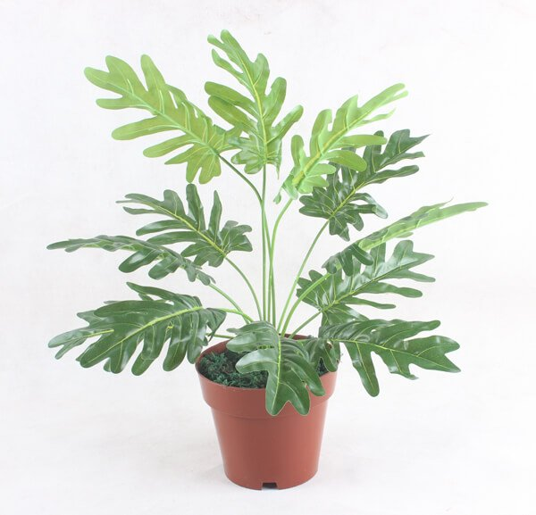 Philodendron bipinnatifidum - House Plants
