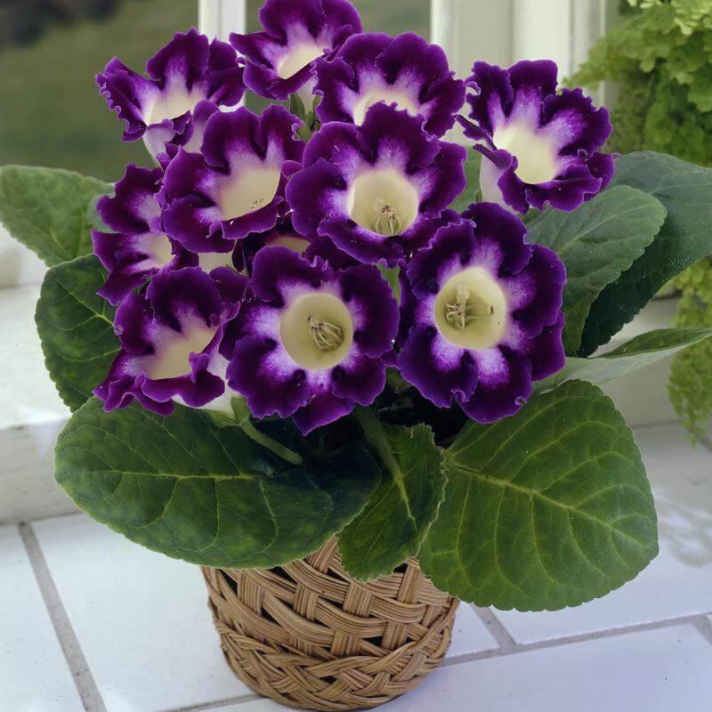 Sinningia speciosa (gloxinia) - Flowering plants