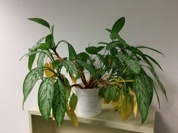 Aglaonema Maria Christina (Chinese Evergreen) - Indoor House Plants