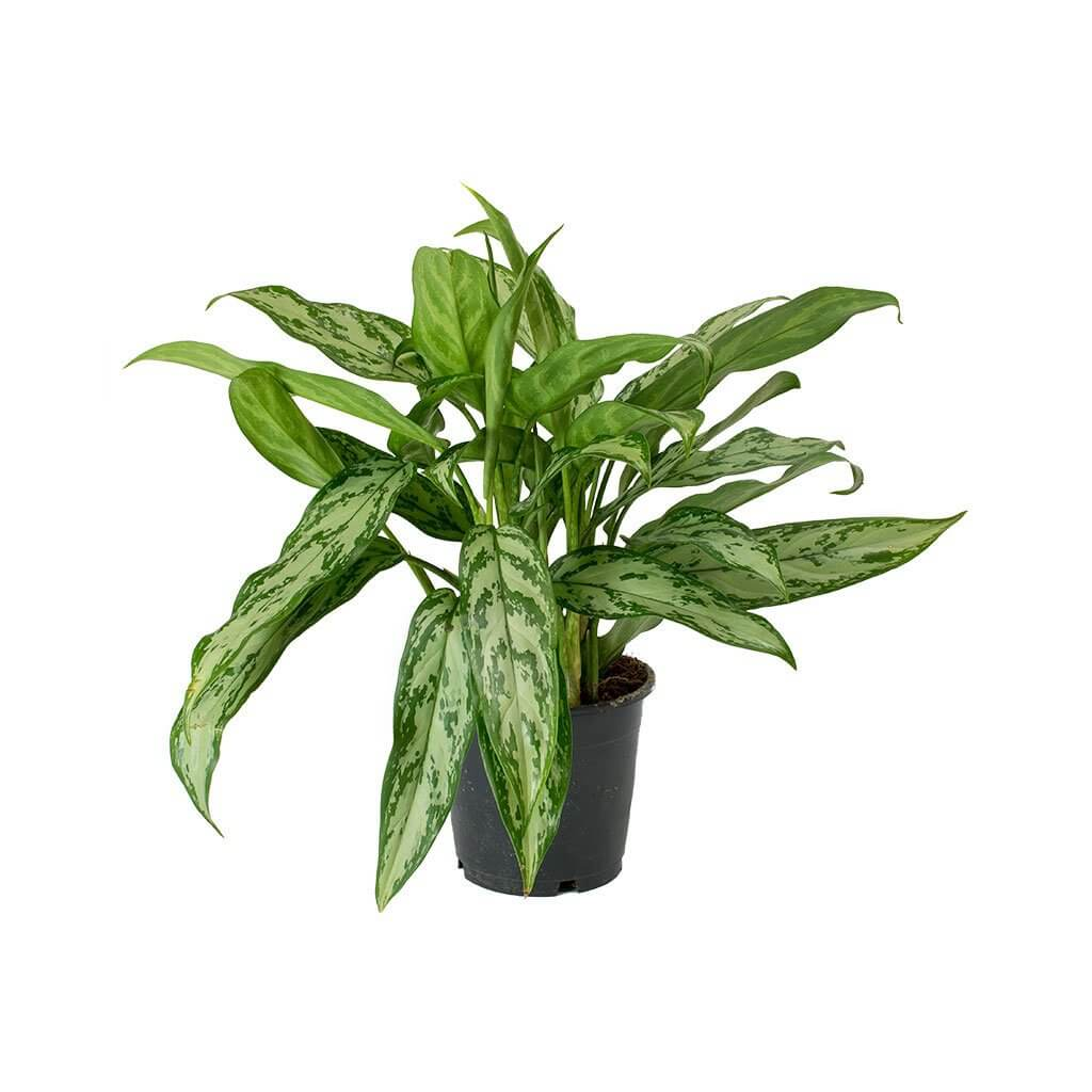 Aglaonema Maria Christina (Chinese Evergreen) - Indoor House ... on chinese evergreen watering, red chinese evergreen plant, chinese evergreen leaf, japanese evergreen plant, snake plant, chinese evergreen bamboo, chinese money plant, chinese evergreen seeds, chinese evergreen crete, chinese evergreen tree, chinese evergreen indoor plant, chinese potted plant, chinese fan palm california, wandering jew plant, english ivy plant, chinese evergreen aglaonema, chinese evergreen flower, chinese evergreen leaves turning yellow, chinese flowers and plants,