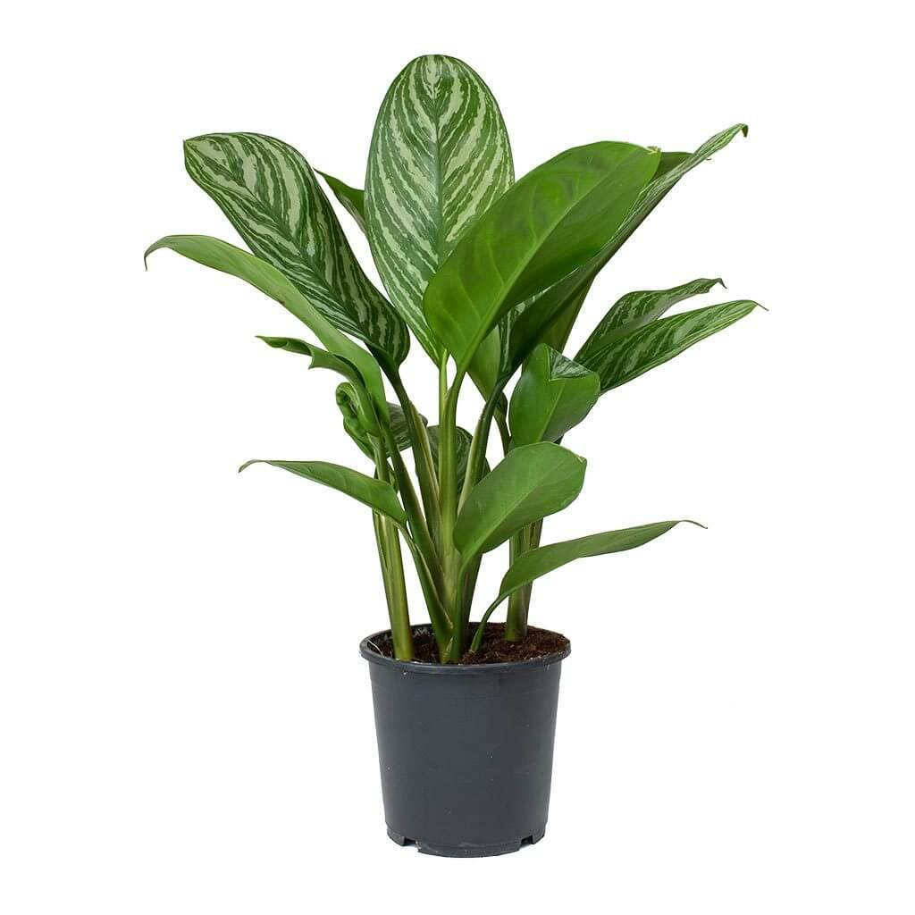 Aglaonema Stripes Chinese Evergreen Indoor House Plants