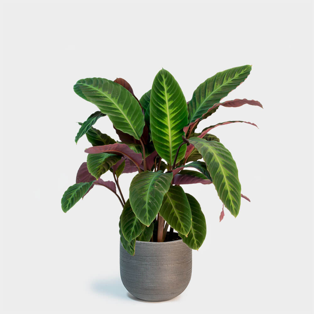 Calathea warscewiczii - Indoor House Plants