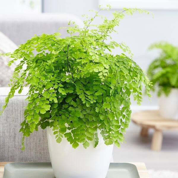 Delta Maidenhair Fern (Adiantum Fragrans) - Indoor House Plants