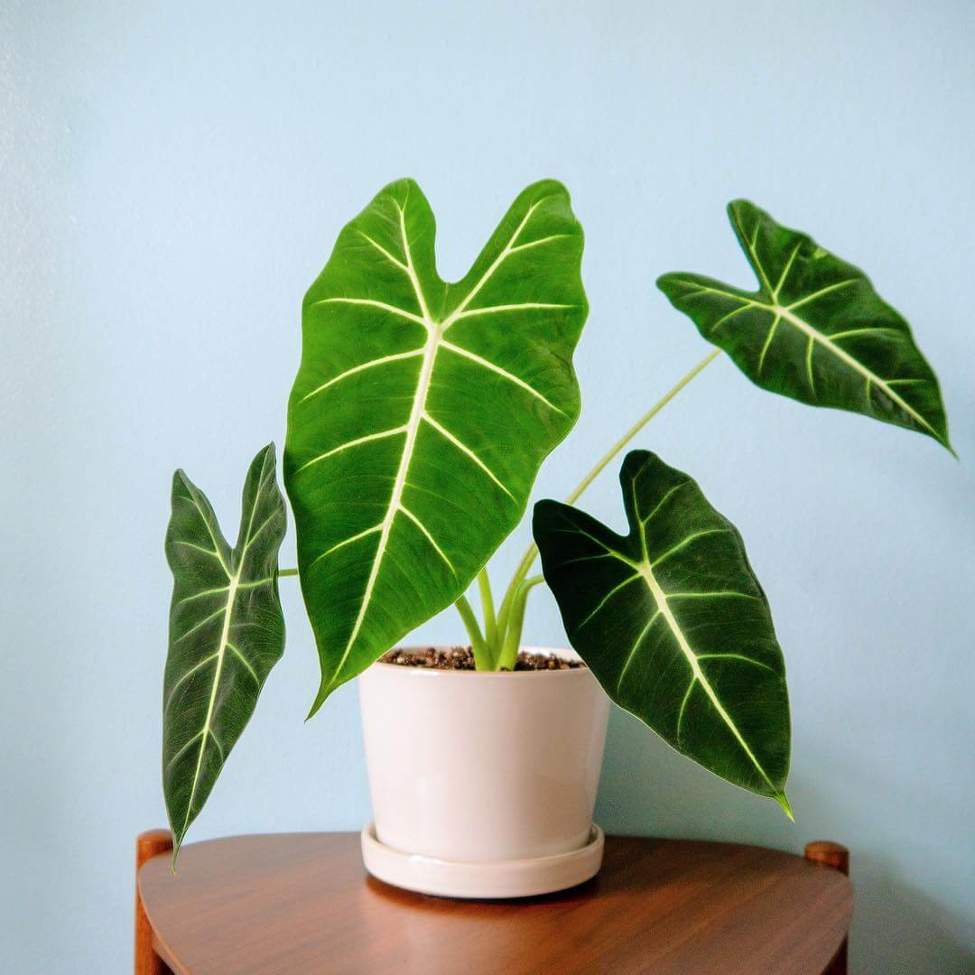 Green Velvet Alocasia - Indoor House Plants