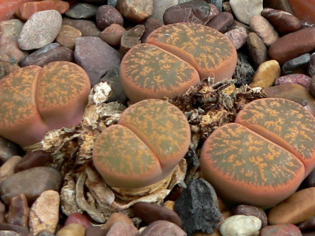 Lithops lesliei - House Plants