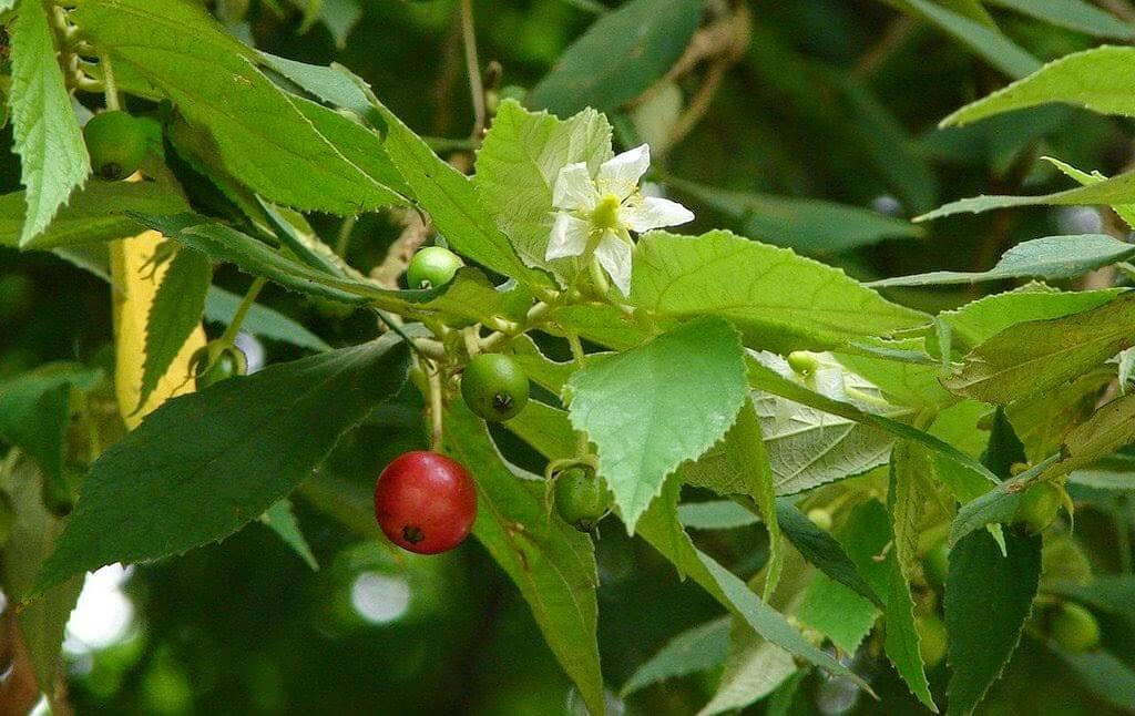 Muntingia calabura - Fruit garden