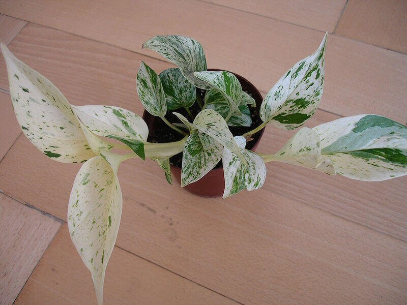 Pothos plant- Air purifying plants