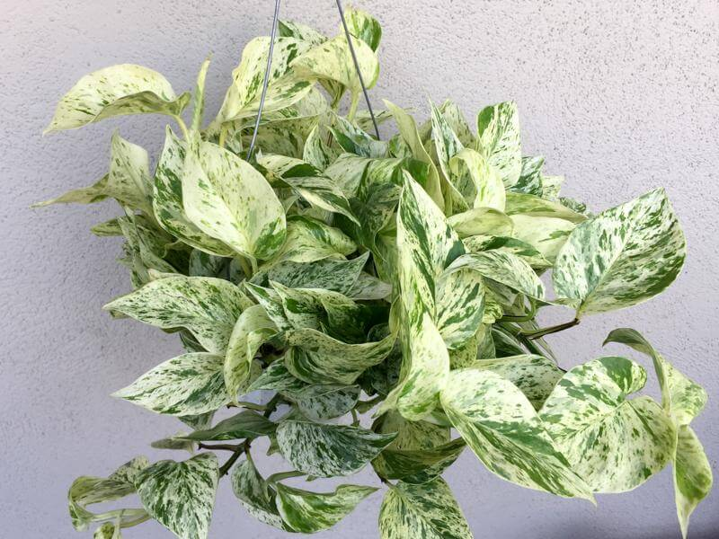 Pothos plant- Air purifying plants