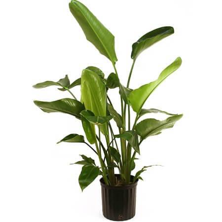 Strelitzia nicolai - Indoor House Plants