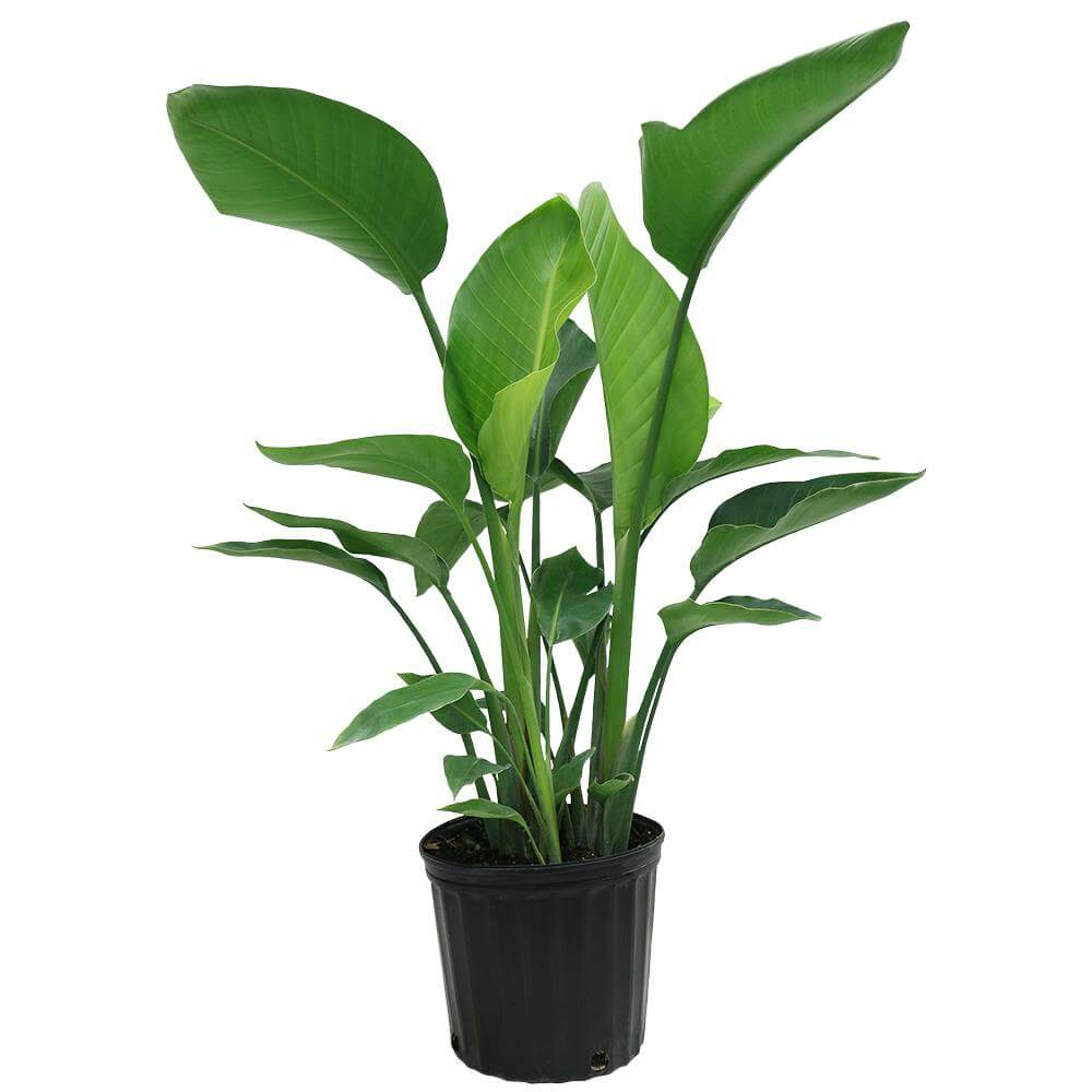 Strelitzia nicolai - Indoor House Plants