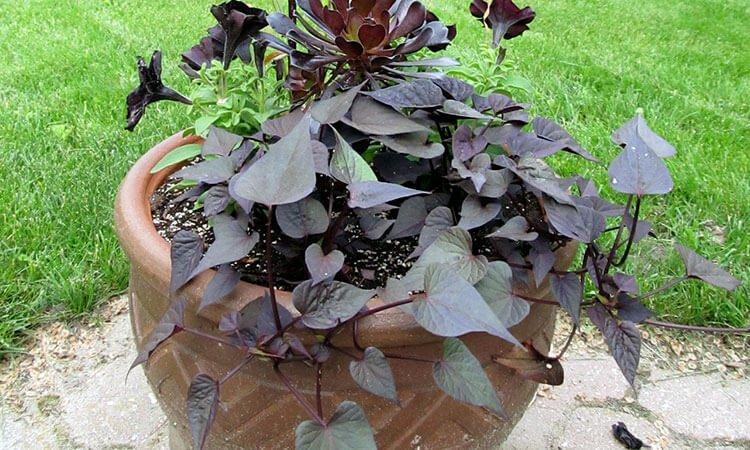 Sweet potato - Vegetable garden