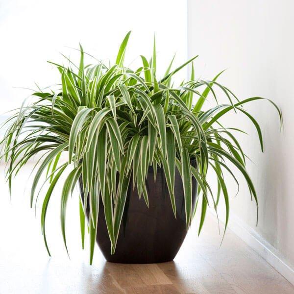 Chlorophytum laxum Zebra Grass - Indoor House Plants