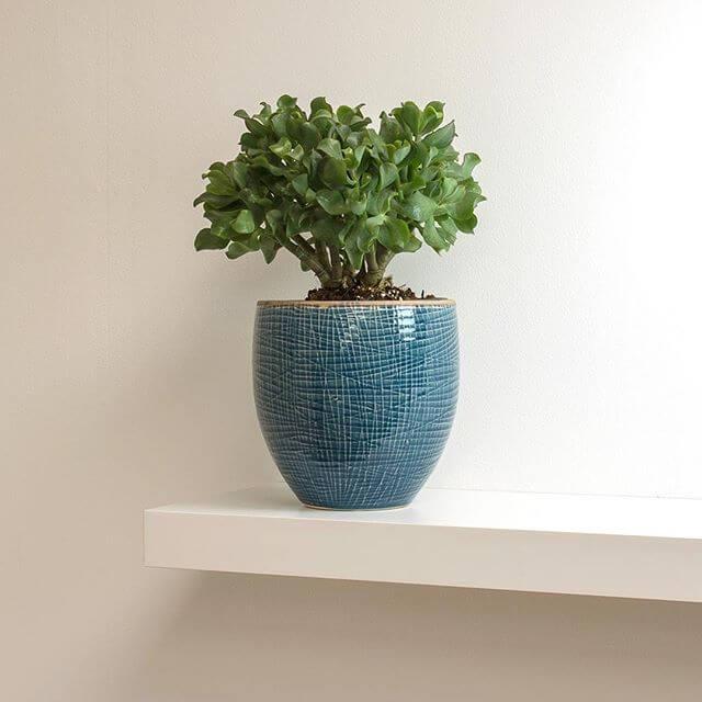 Crassula ovata Undulata (Curly Jade Plant) - Indoor House Plants