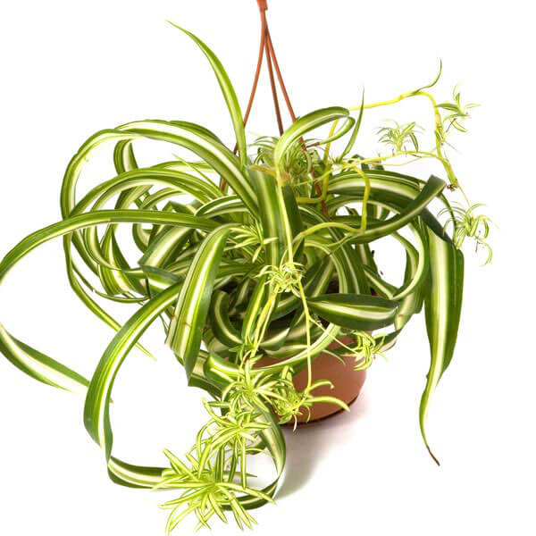 Curly Spider Plant - Indoor House Plants