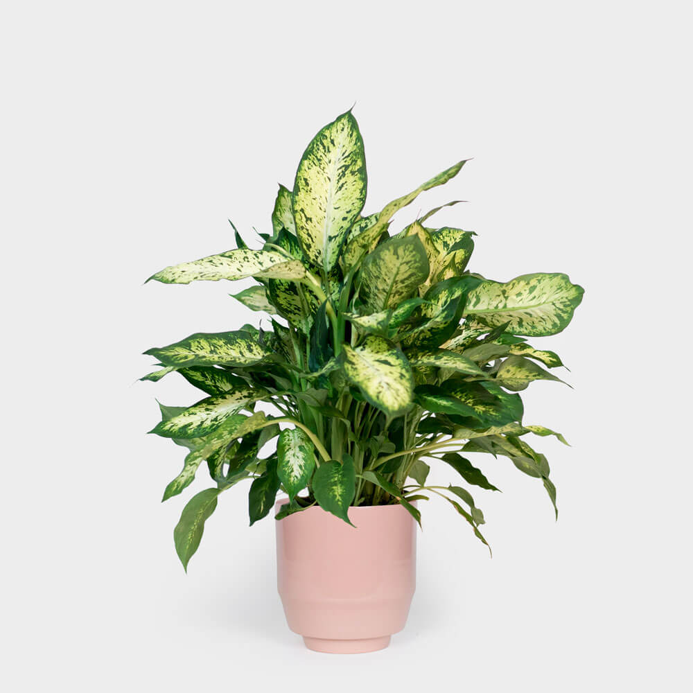 ffenbachia Compacta (Dumb Cane) - Indoor House Plants on