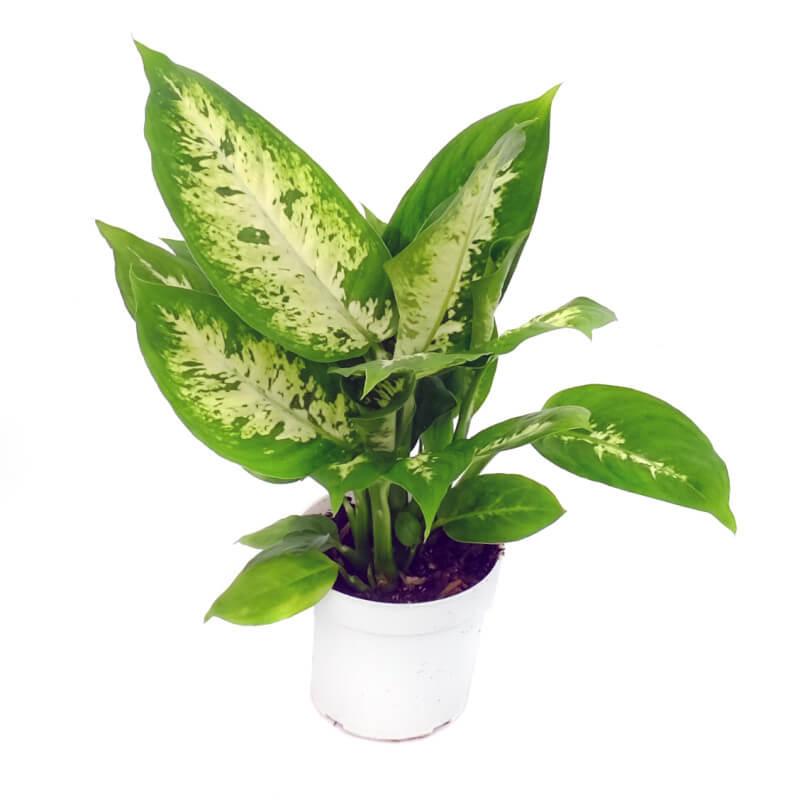 ffenbachia Compacta (Dumb Cane) - Indoor House Plants on