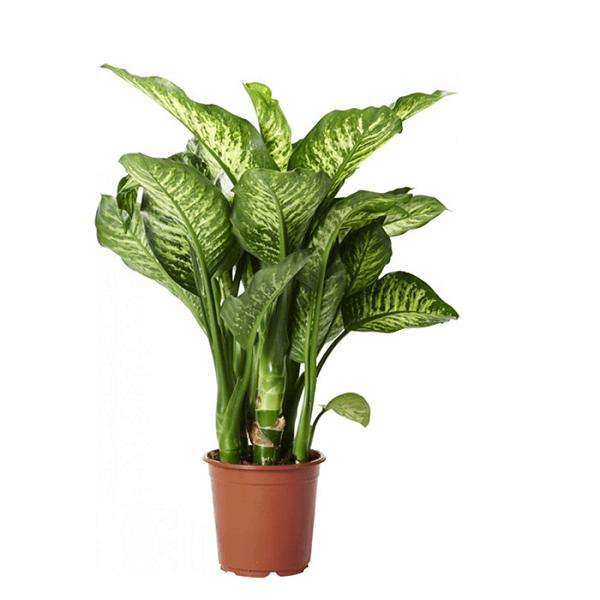ffenbachia Maroba (Dumb Cane) - Indoor House Plants on