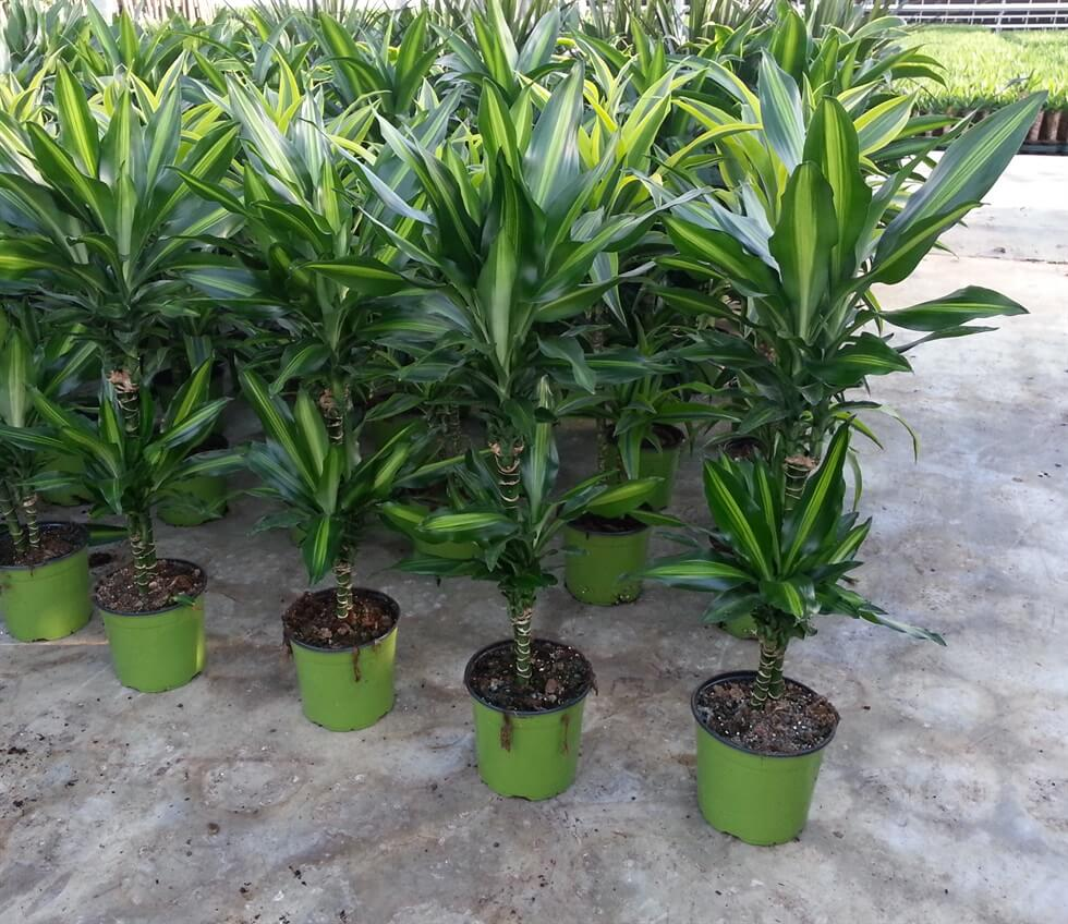 Dracaena fragrans Cintho - Indoor House Plants