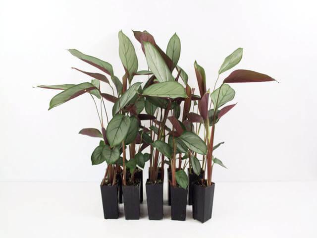 Fishbone Prayer Plant - Indoor House Plants